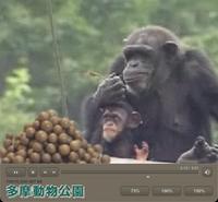 多摩動物園のチンパンジー