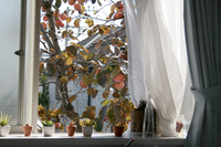 窓から柿が見える